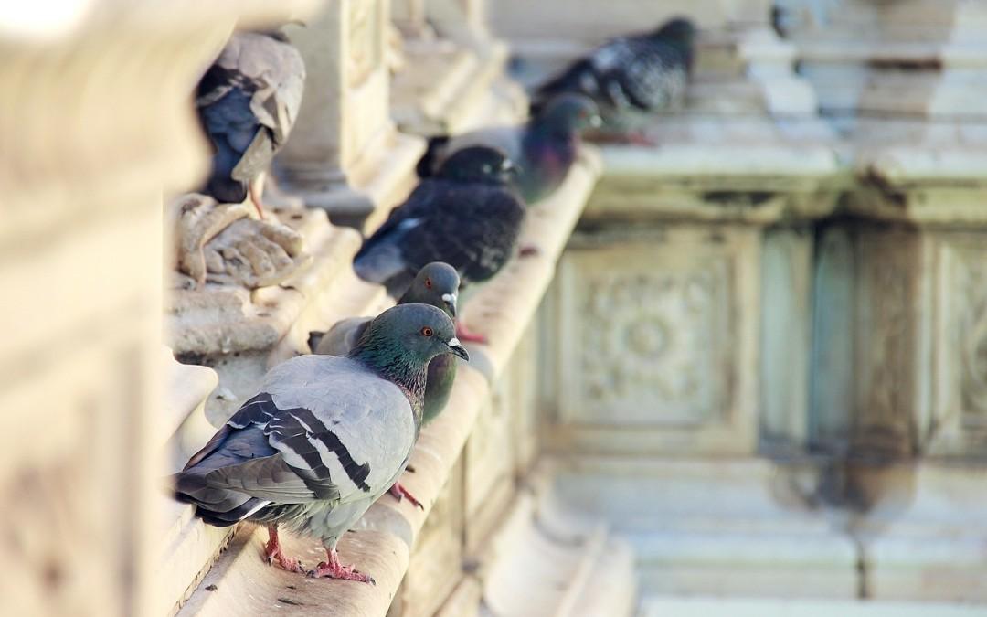 Taubenplage und Schädlingsbefall – Gezielte Maßnahmen